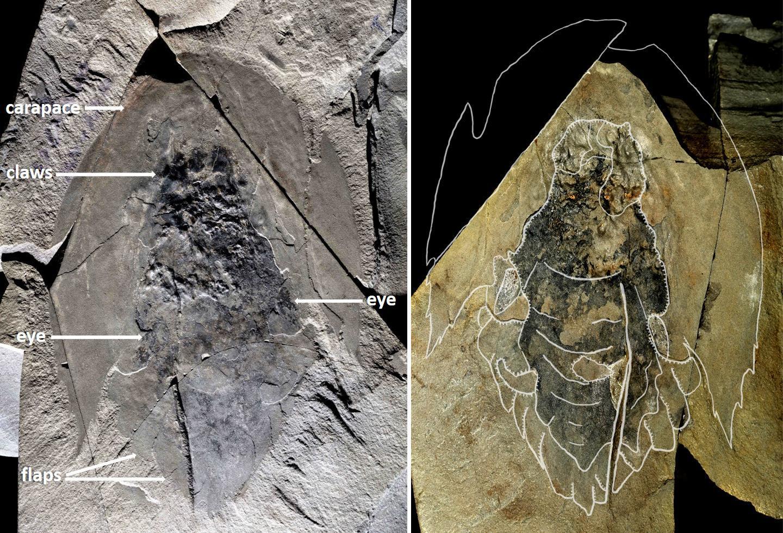 Палеонтологи описали «тысячелетних соколов» кембрийского периода