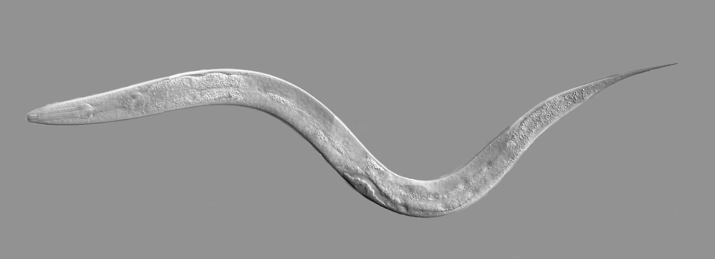 Коннектом червя, половые различия