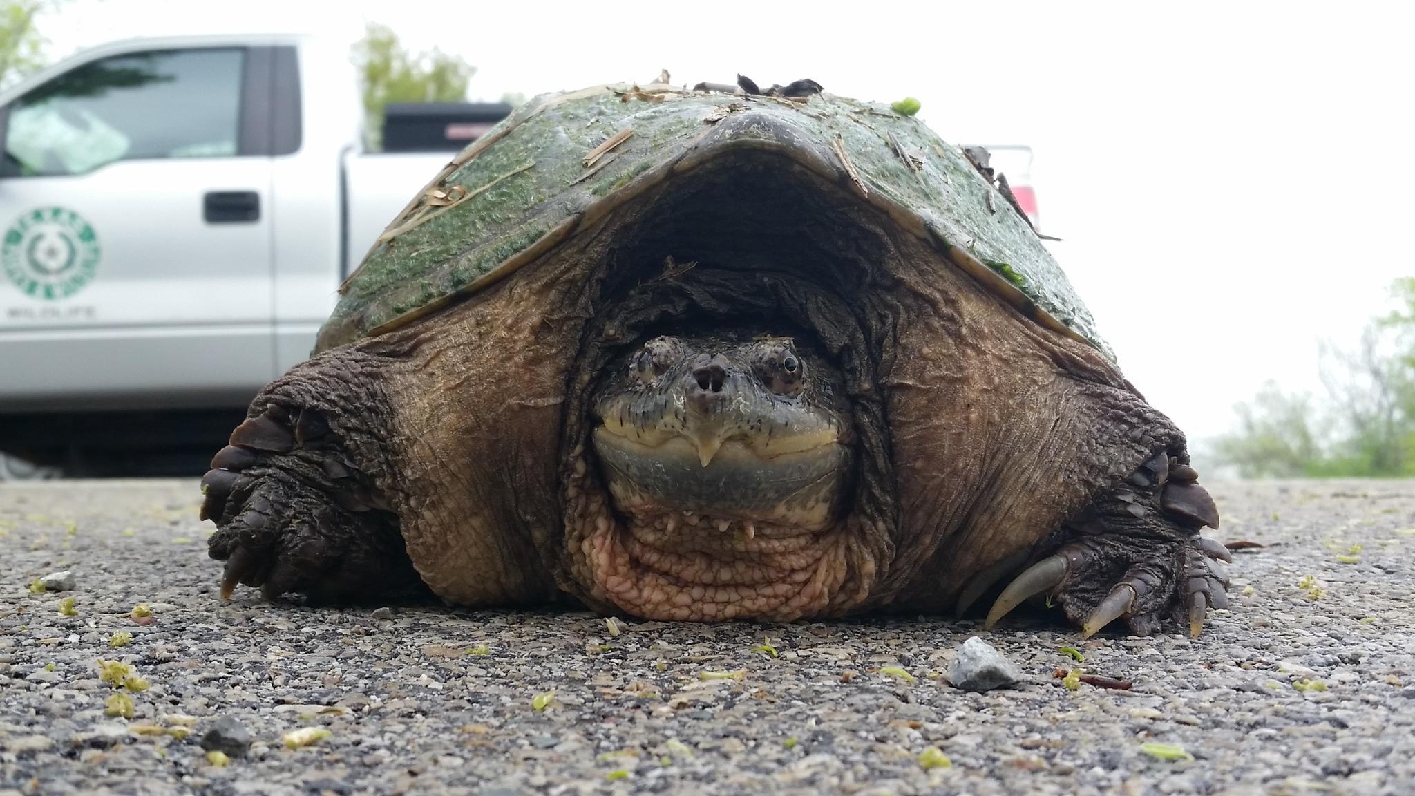 Сердца черепах могут адаптироваться, чтобы выжить без кислорода