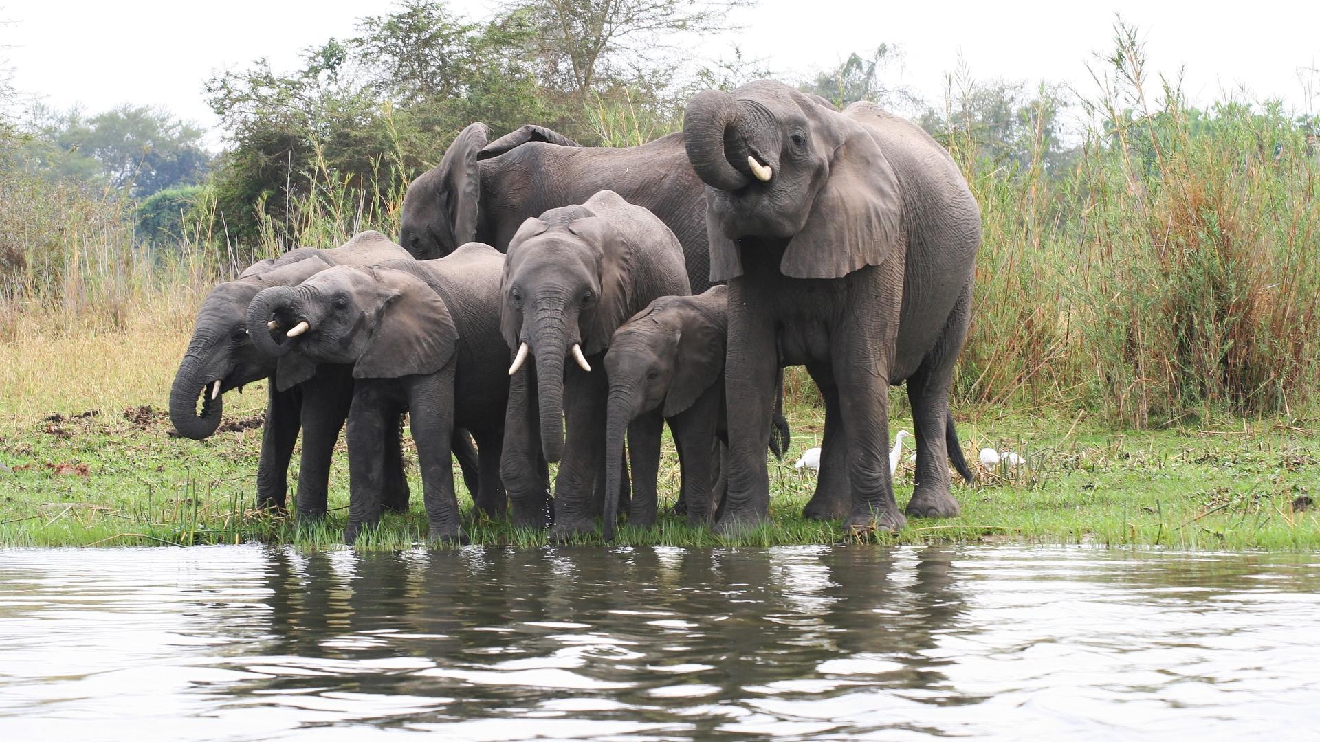Молодые слоны научились объединяться в «банды»
