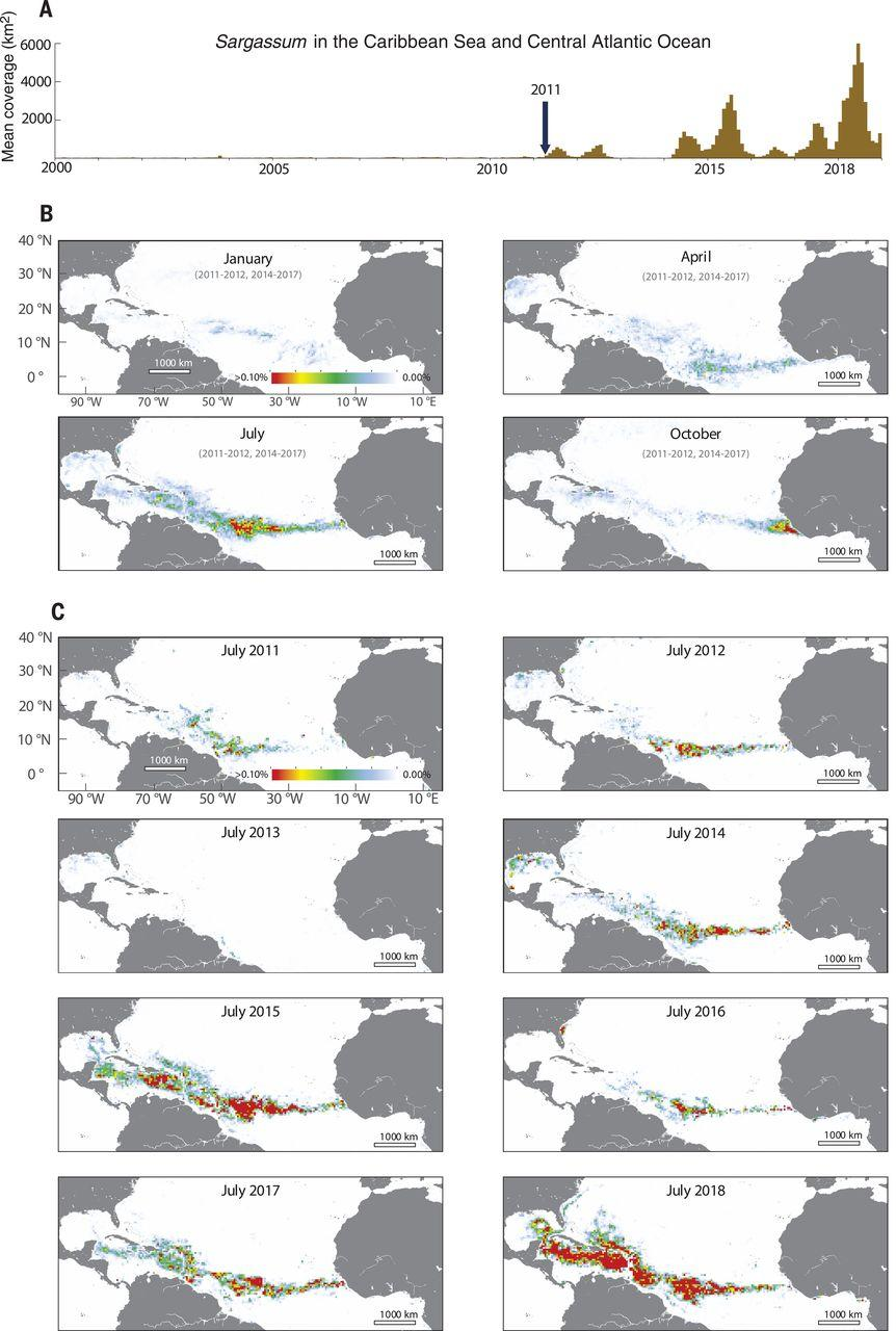 Ученые обнаружили «великий саргассовый пояс» в Атлантике
