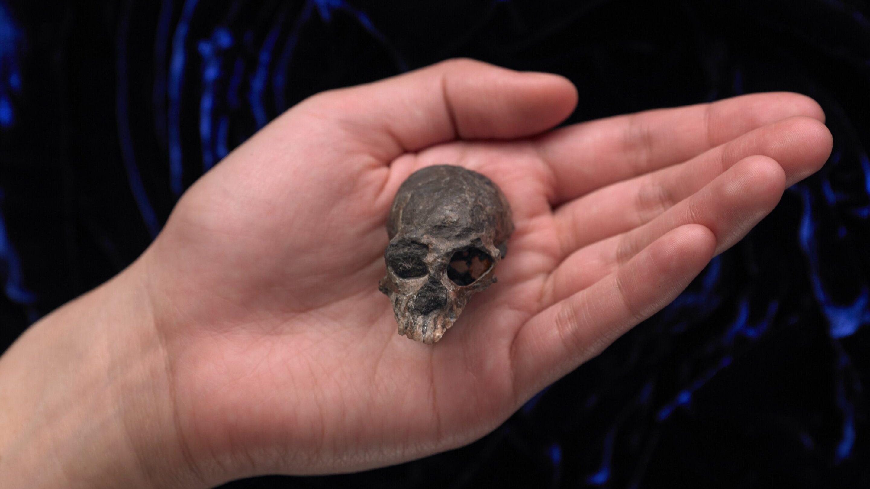 Мозг человекообразных обезьян несколько раз увеличился и уменьшился в ходе эволюции