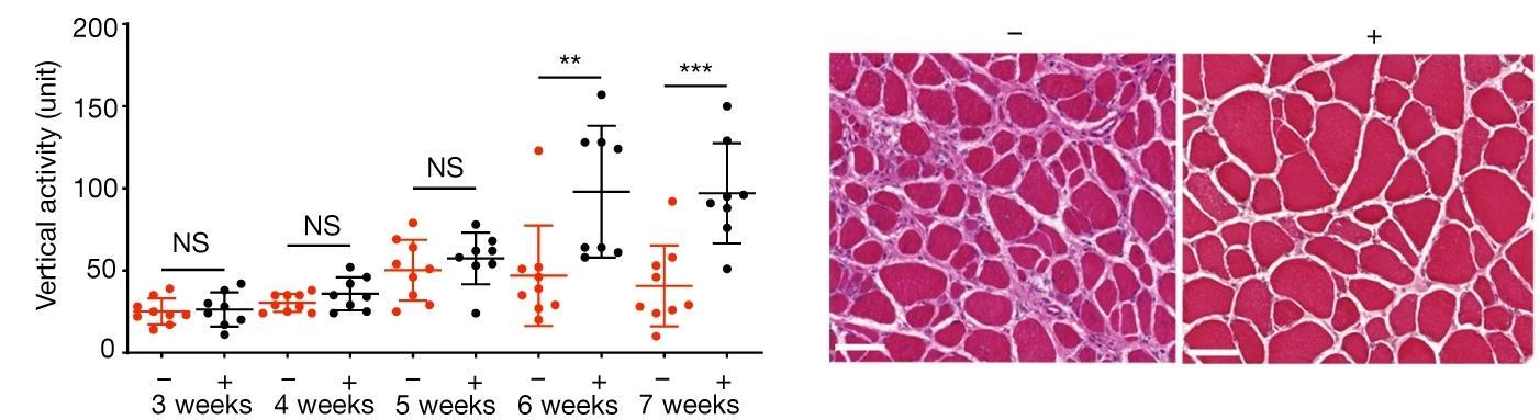 CRISPR вылечил мышей от мышечной дистрофии без редактирования генома