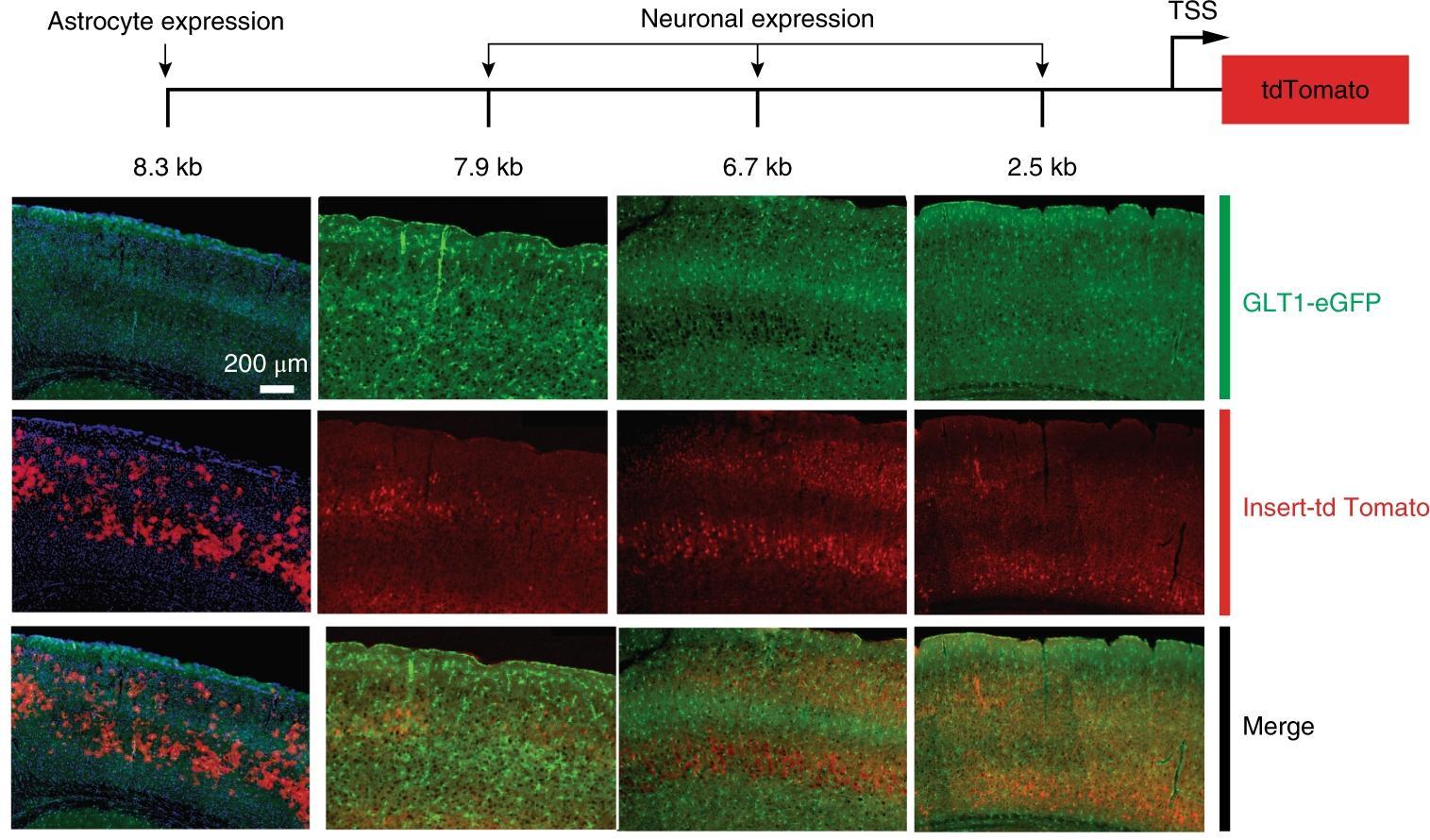 Исследователи близки к восстановлению нейронных связей