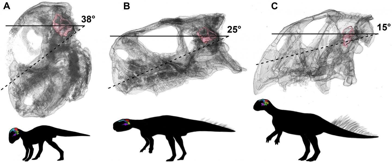 Как развивался мозг динозавра?