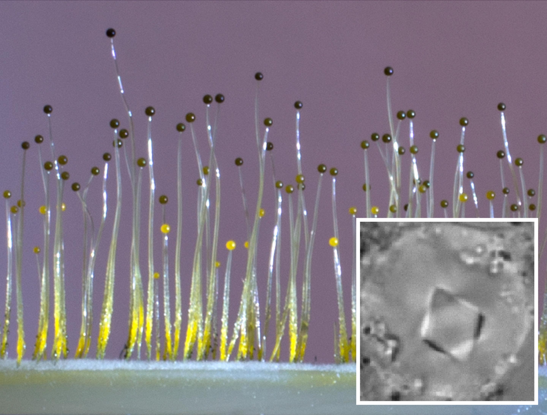 Плесневый грибок научился чувствовать гравитацию благодаря бактериям