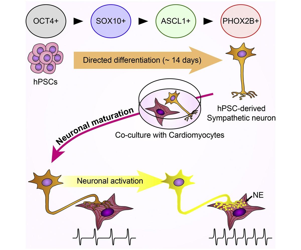 «Симпатические нейроны из пробирки» заставляют клетки сердца сокращаться