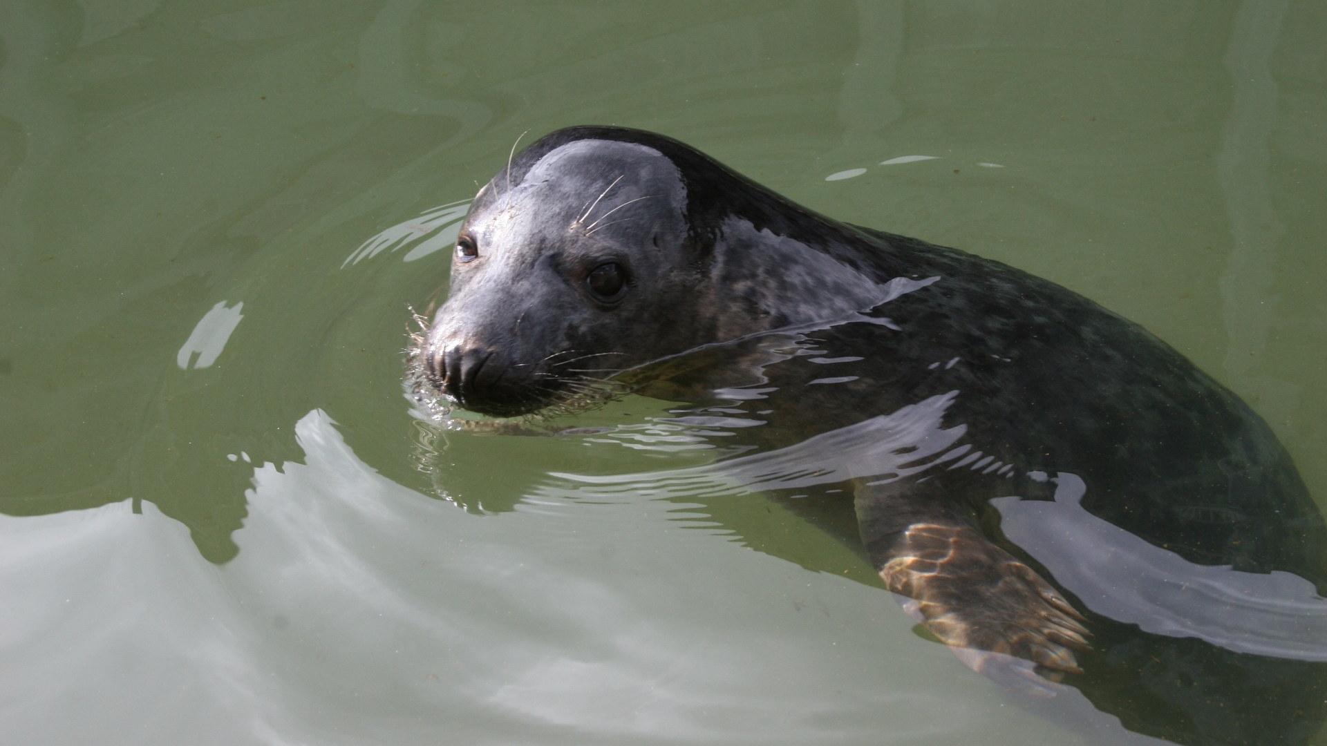 Тюленей научили напевать человеческие мелодии