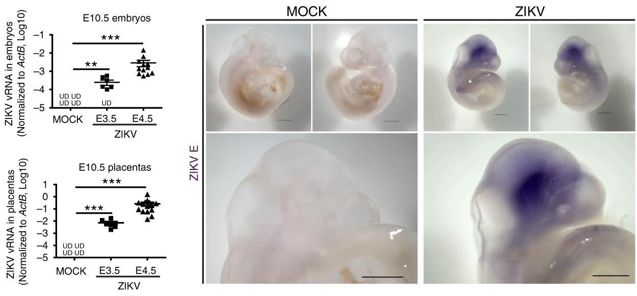 Вирус Зика заражает эмбрионы еще до имплантации в матку