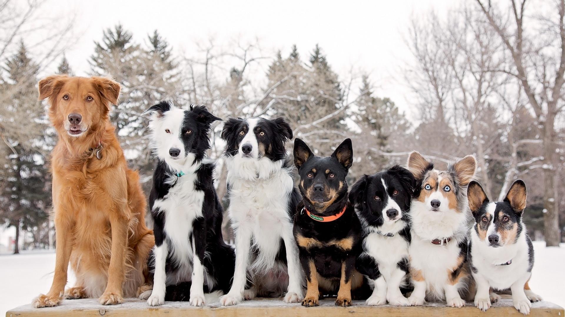 Породы собак оказались разными по структуре мозга