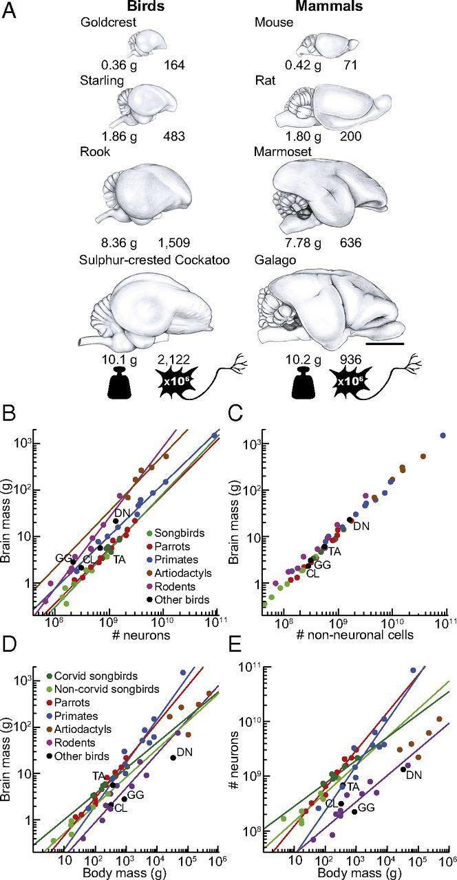 Птицы и обезьяны: у кого больше нейронов