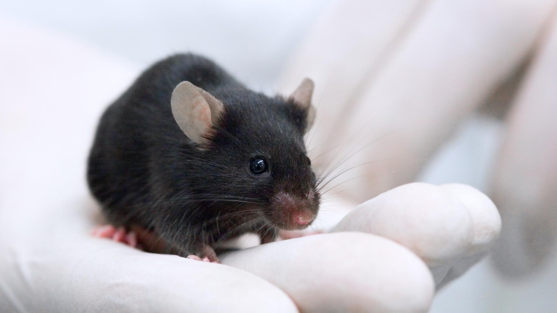 Генная терапия помогла мышам с «деменцией боксеров»