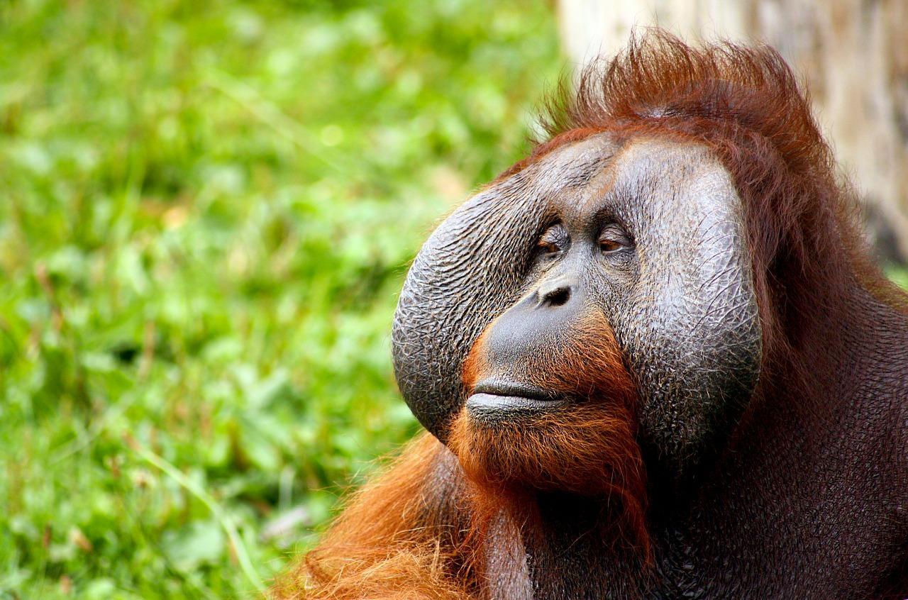 Орангутаны научились играть на казу