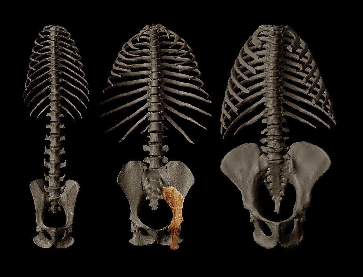 Обнаружен древнейший прямоходящий предок человека