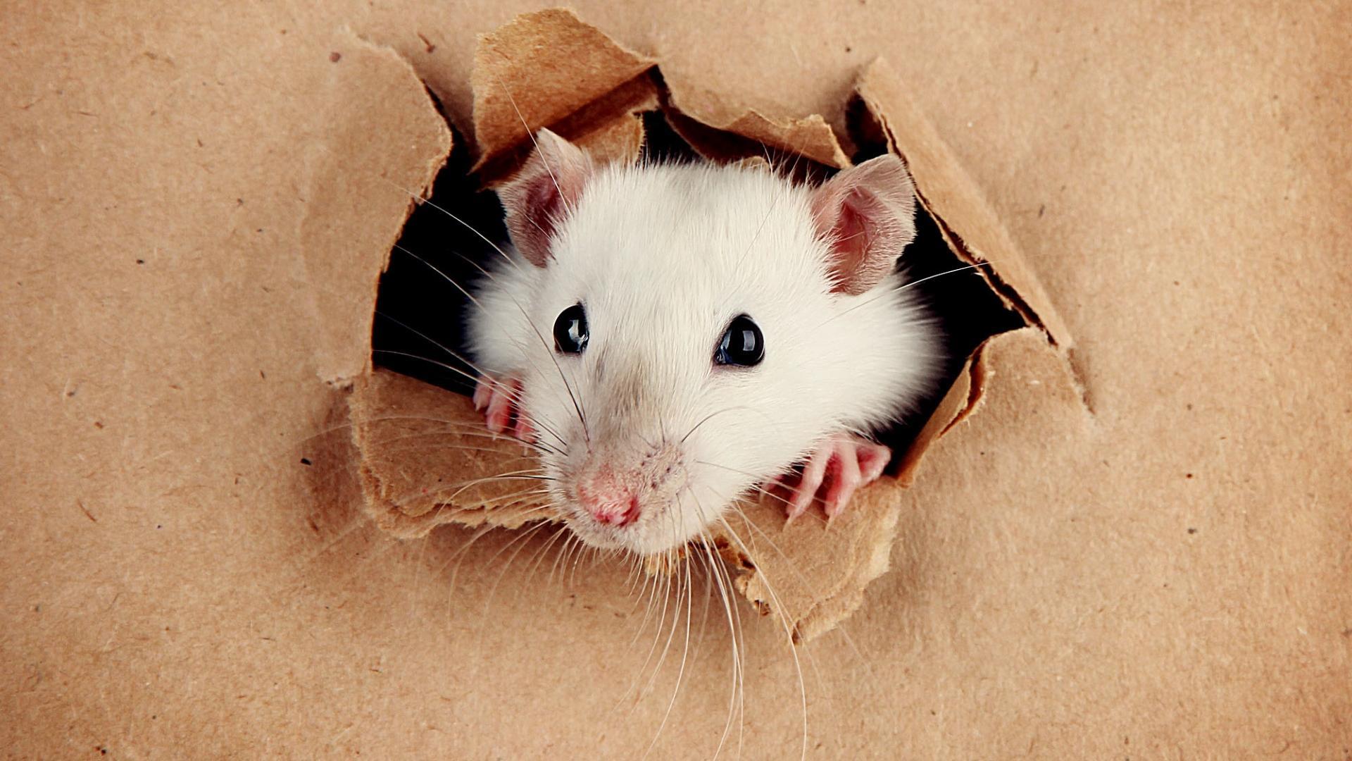 Игра, которая заставляет крыс прыгать от восторга