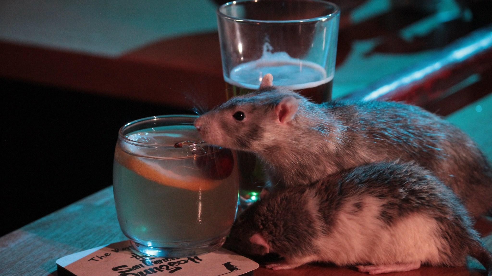 Как отучить крысу пить?