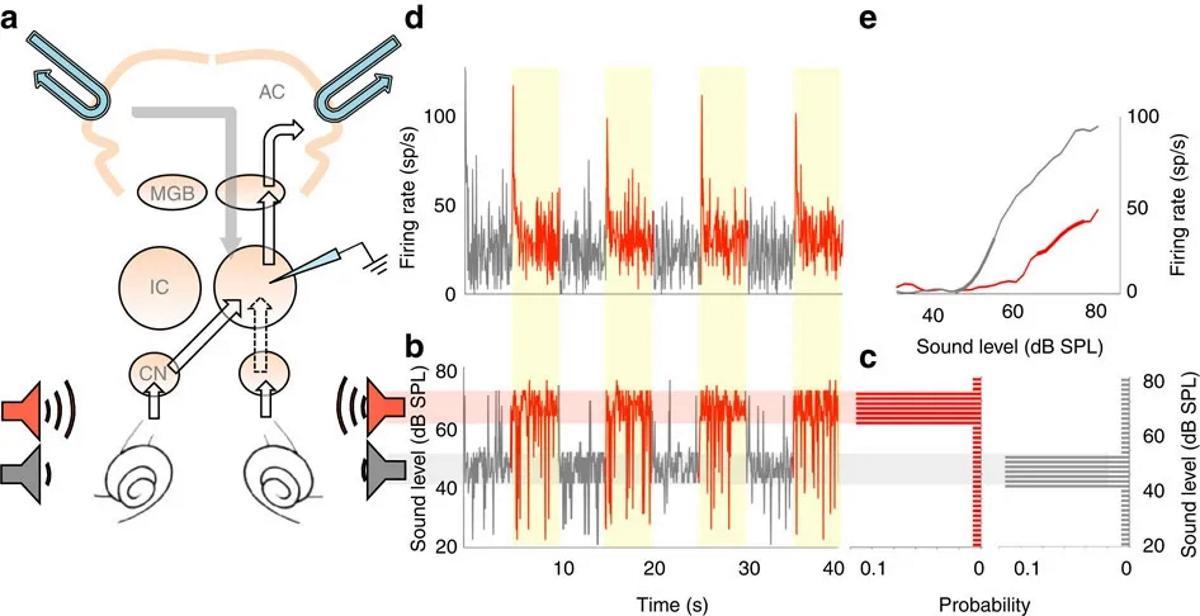 Слуховые нейроны среднего мозга умеют регулировать громкость