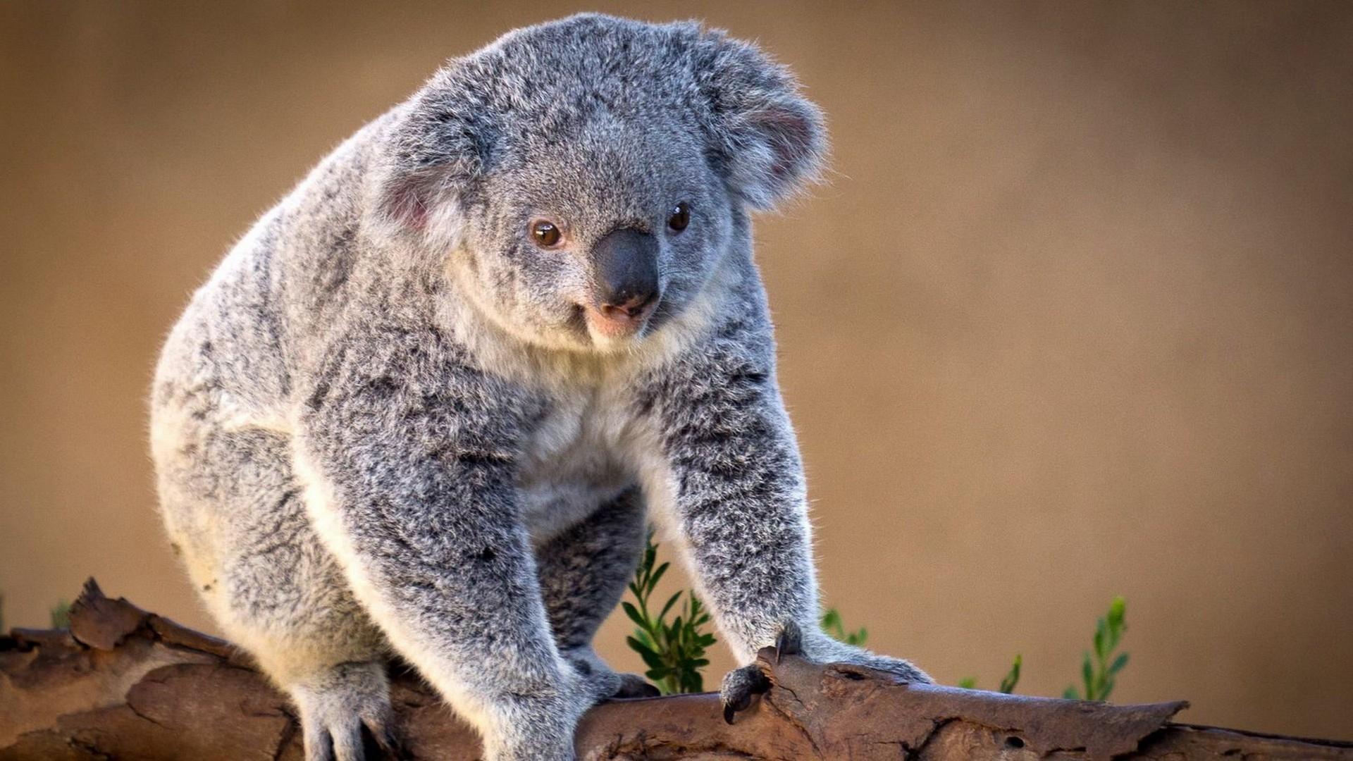 Особенность иммунной системы коалы раскрывает секреты эволюции генома
