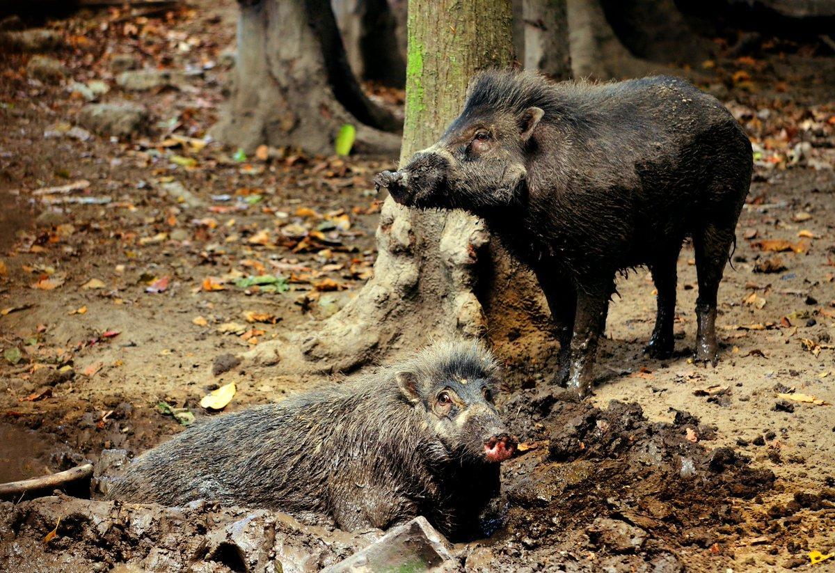 Орудия труда, свиньи и люди: где граница разумного