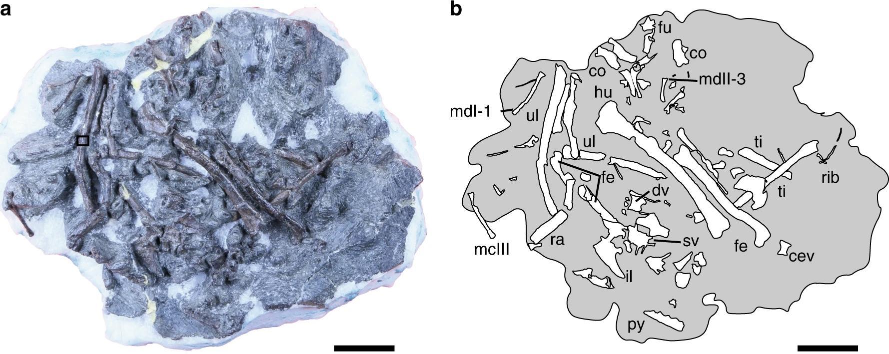 Потрясающая находка — окаменелости второй по примитивности древней птицы