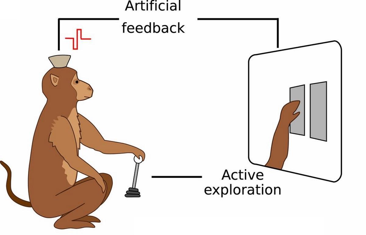 Нейроинтерфейс позволил обезьянам ощущать виртуальную поверхность