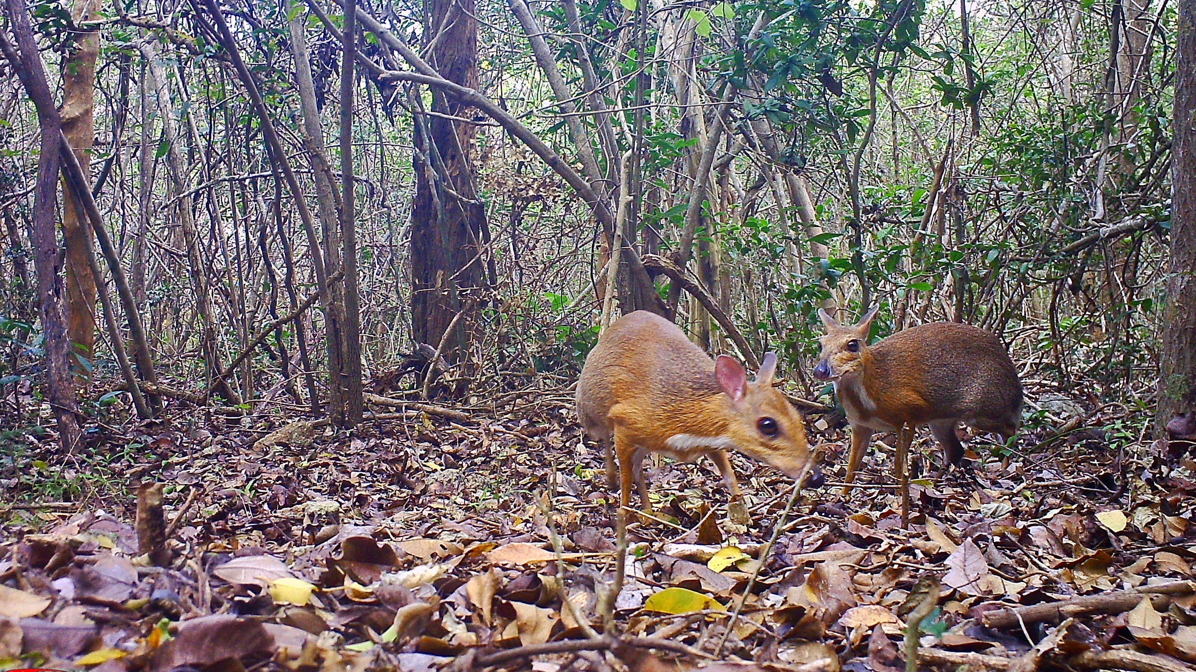 Найдены считавшиеся вымершими «олени» размером с кролика
