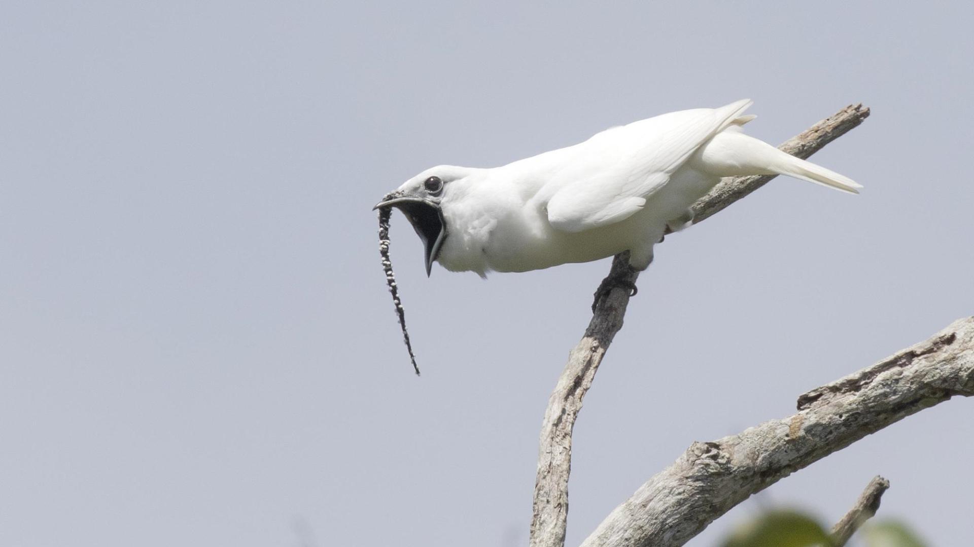 Самые громкие птицы живут в Южной Америке. Зафиксирован новый рекорд громкости