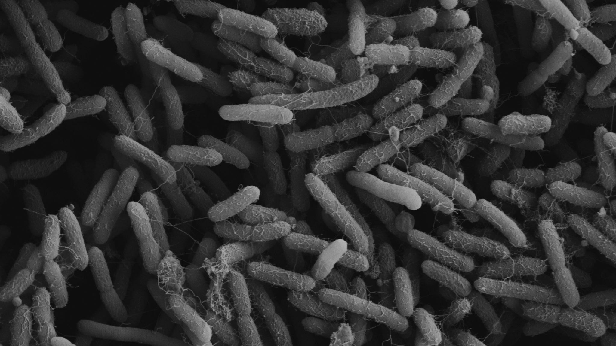 Смертельно опасные бактерии общаются и успешно уклоняются от действия антибиотиков