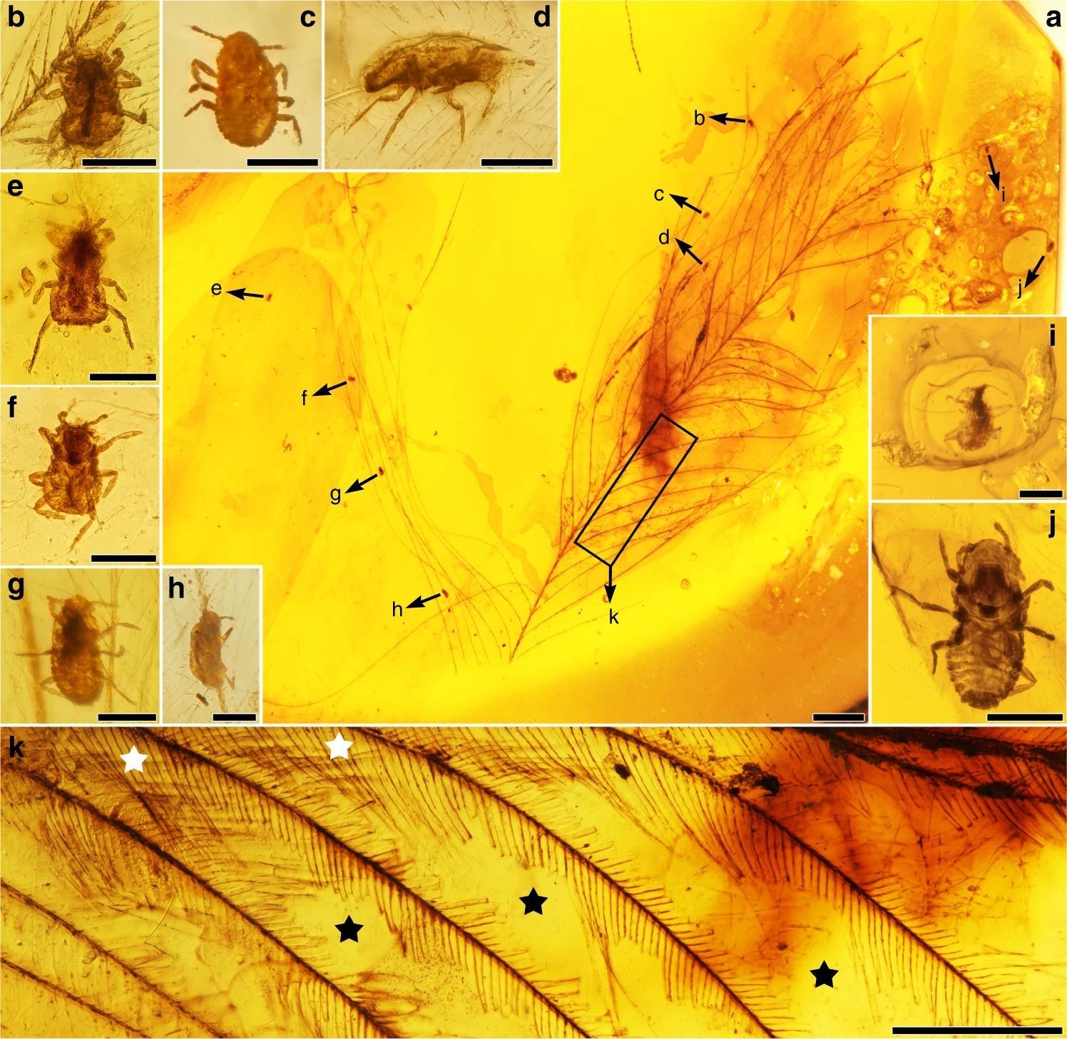 Летопись паразитизма: пухоеды динозавров найдены в янтаре мелового периода