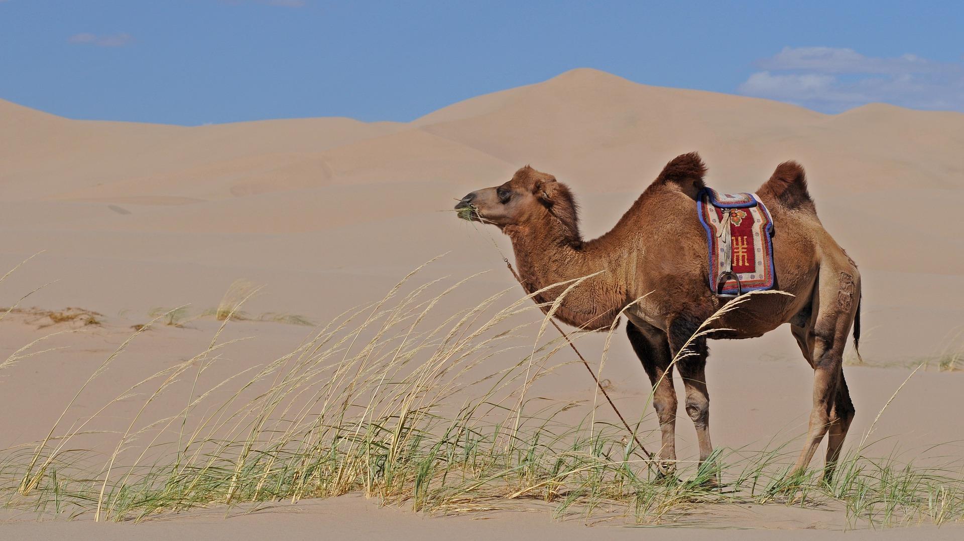 Суслики и верблюды использовали одинаковые мутации для адаптации к жаре