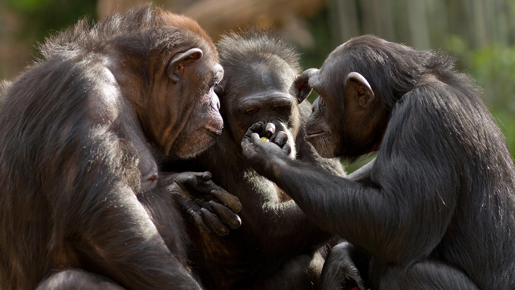 Когда шимпанзе учат друг друга