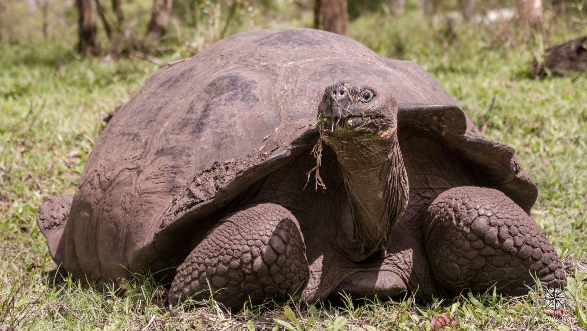 Гигантские сухопутные черепахи оказались обучаемыми и общительными