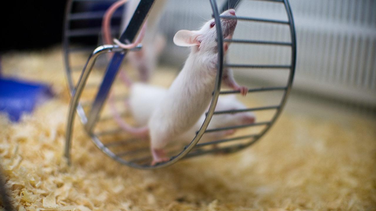 Ученые определили белок, стимулирующий «омоложение» мозга во время физических упражнений