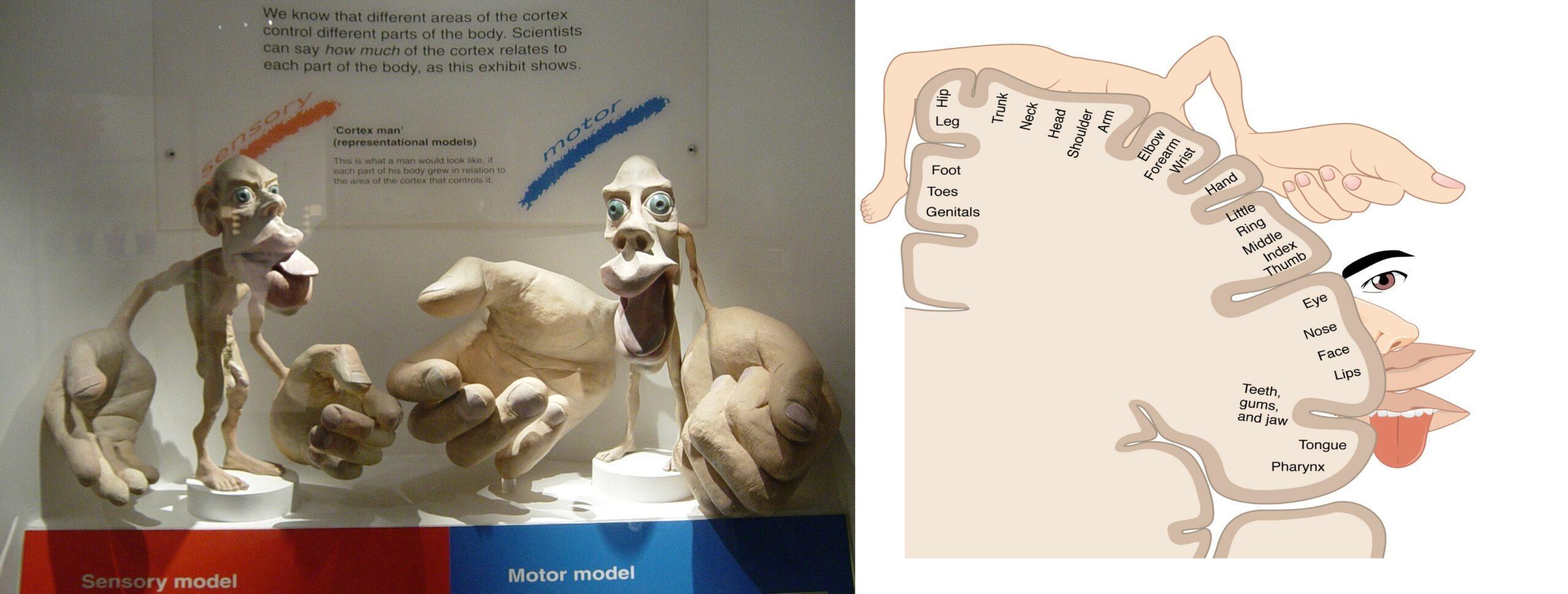 Как появился и эволюционировал гомункулус в нашем мозге?