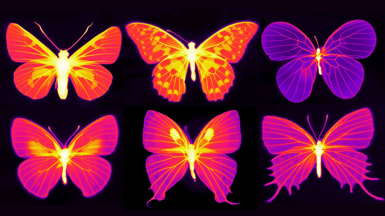 Ученые выяснили, как бабочки спасают свои крылья от перегрева