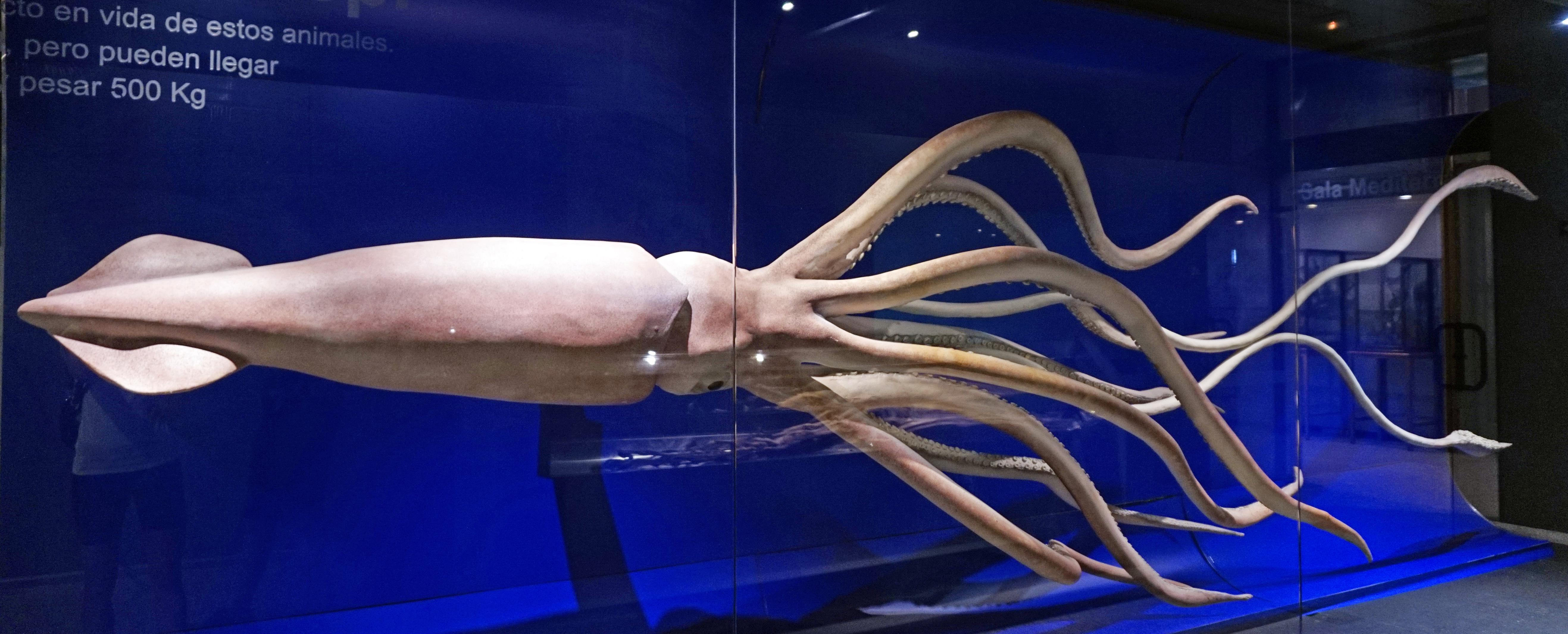 Ученые впервые секвенировали геном гигантского кальмара