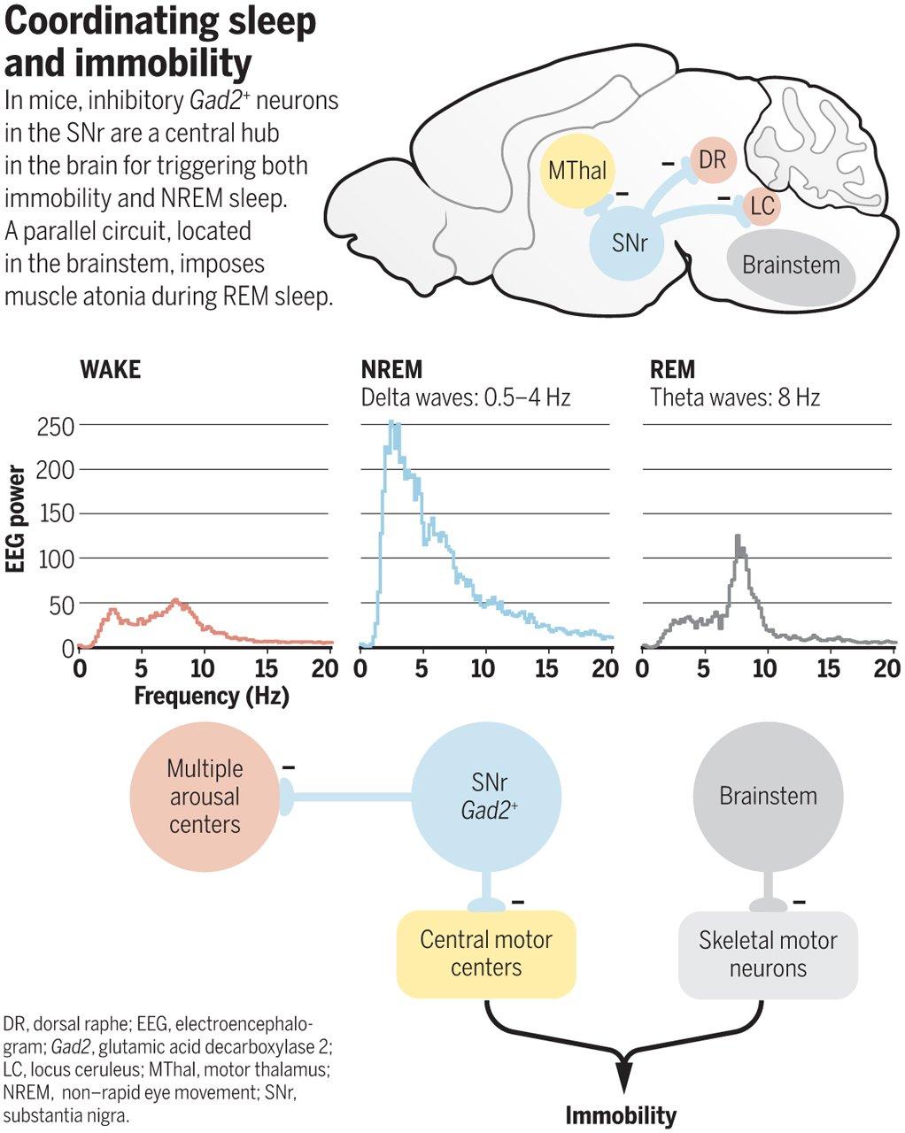 Почему мы неподвижны во сне?
