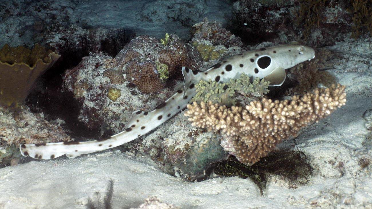 Биологи признали «шагающих» акул новейшей эволюционной ветвью своего вида