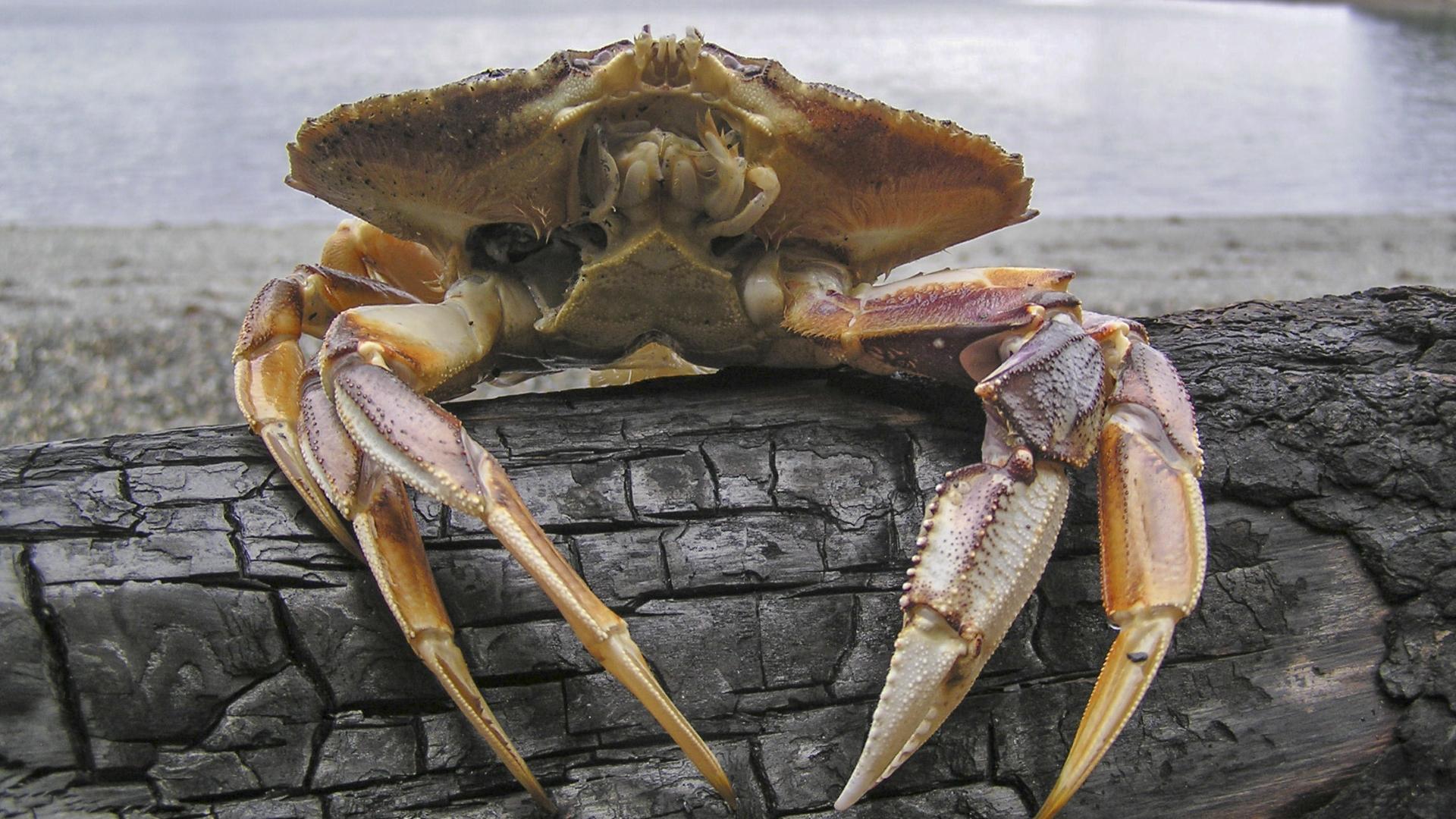Рост кислотности Мирового океана разрушает панцири крабов