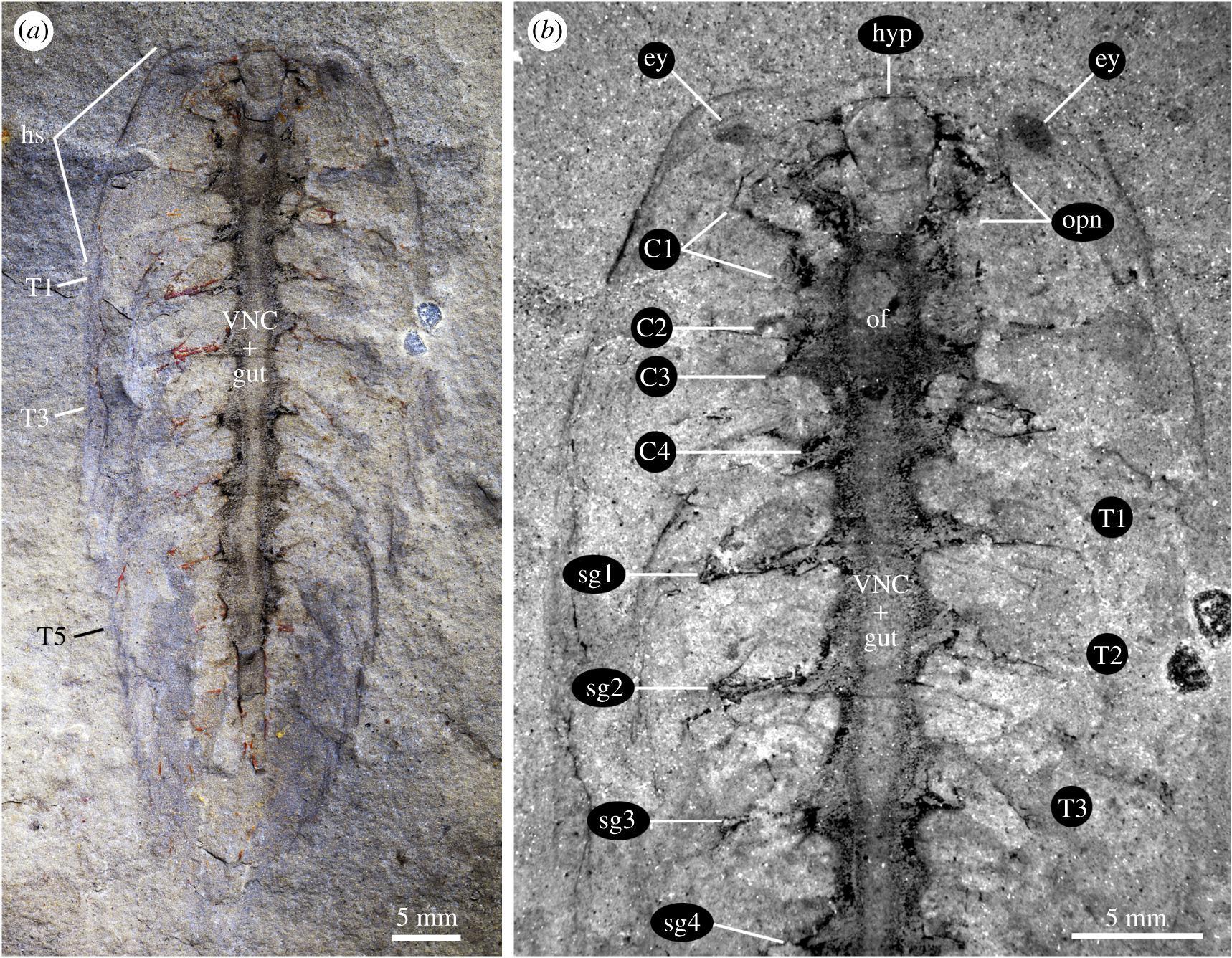 Решающее открытие? Обнаружена ископаемая нервная система возрастом сотни миллионов лет