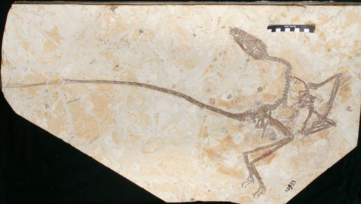 Палеонтологи описали нового родственника велоцирапторов и птиц