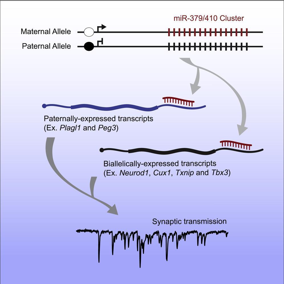 Как в нейронах «мамины» гены воюют с «папиными»