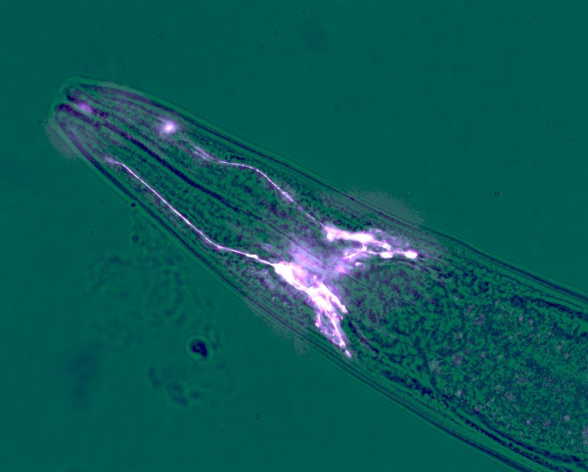 Как всего четыре клетки глии могут продлить жизнь