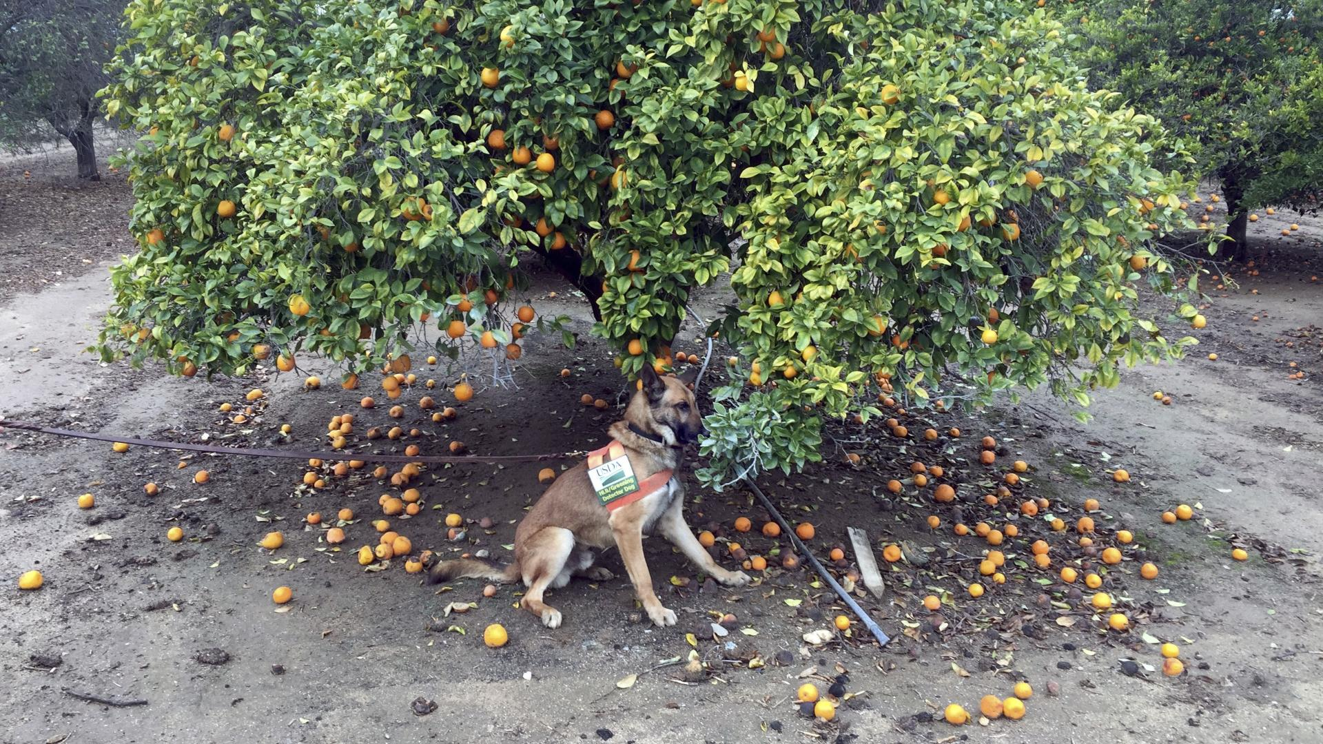 Собаки помогают предотвращать распространение болезни деревьев