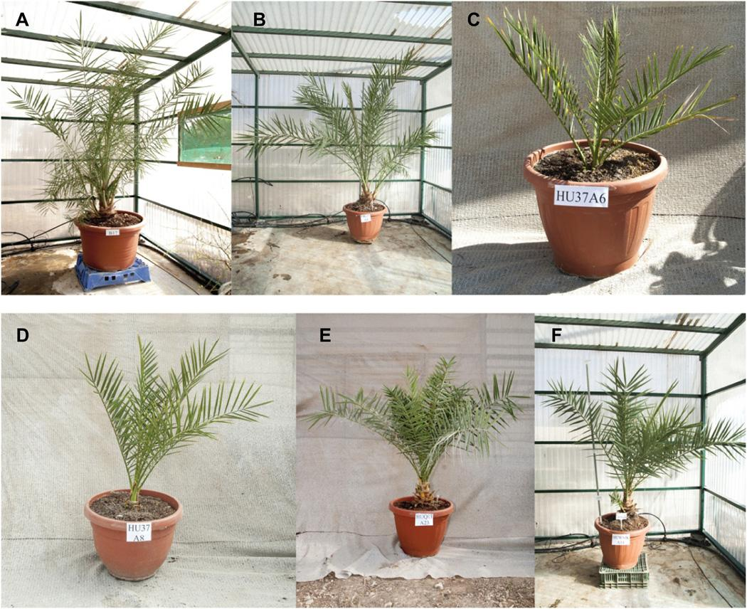 Иудейские финиковые пальмы выросли из семян возрастом 2000 лет