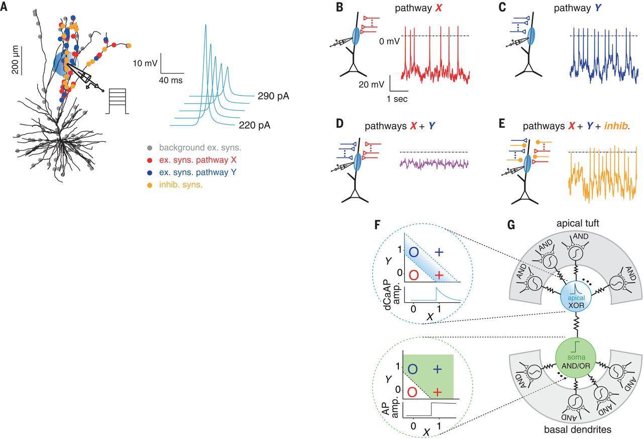 Новый тип сигнала между нейронами?