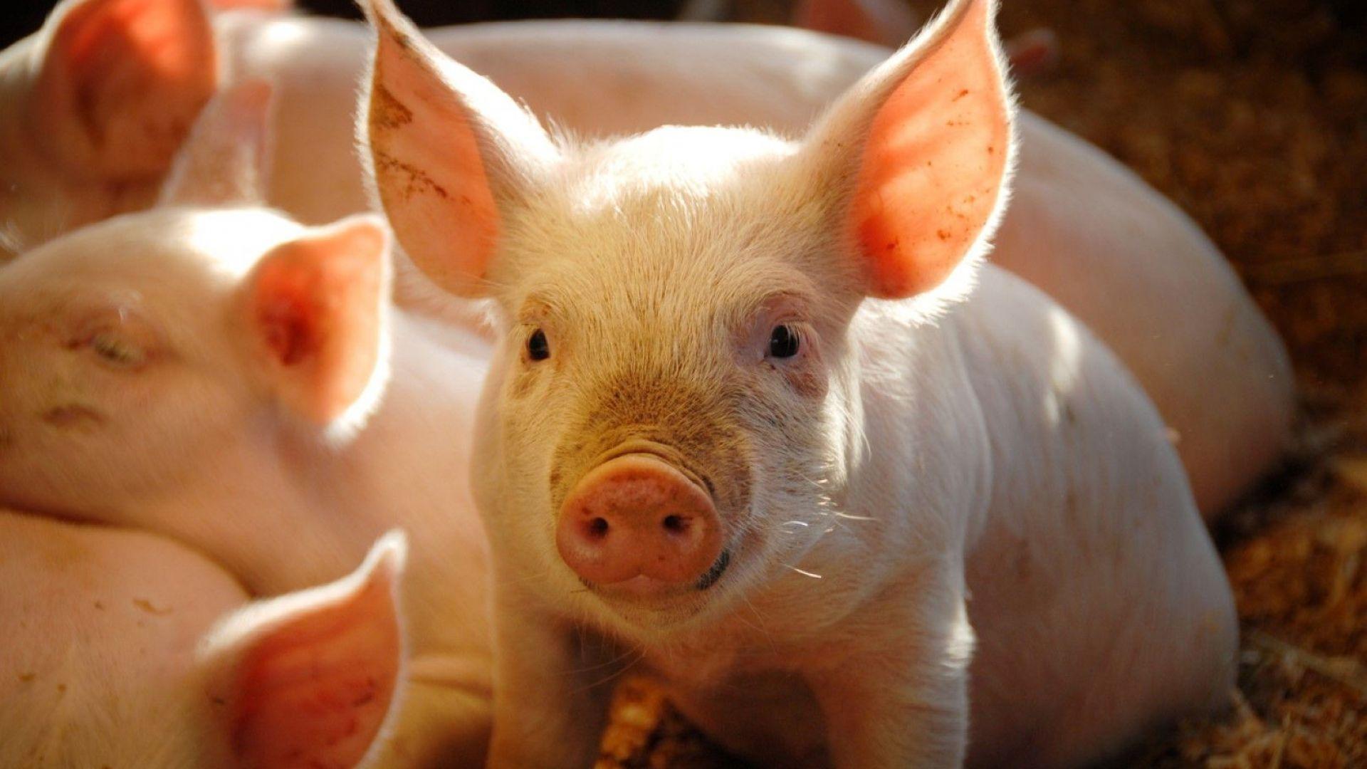CRISPR-терапия справилась с миодистрофией Дюшенна у свиней