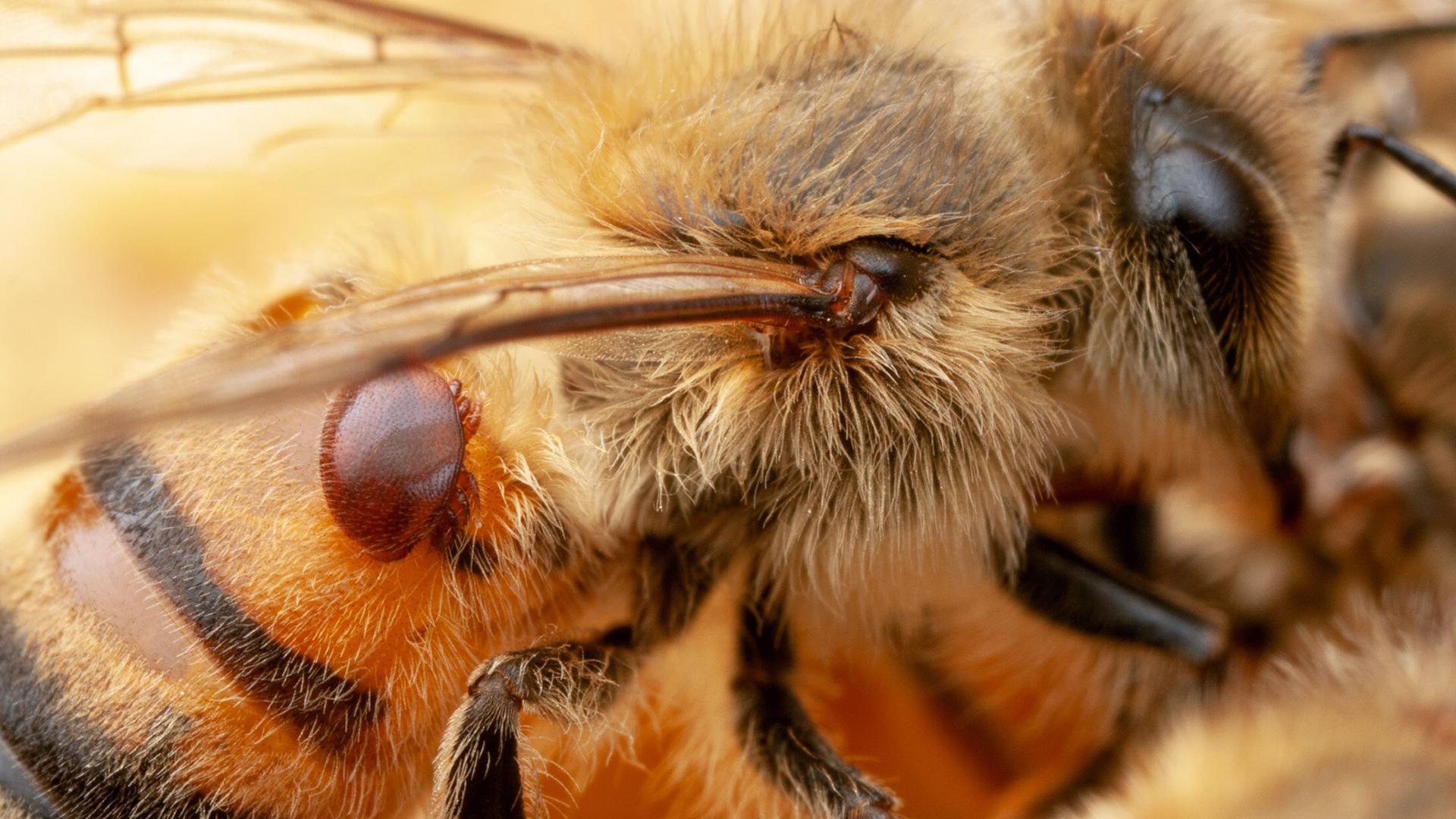 ГМ-бактерии защитят пчел от вымирания