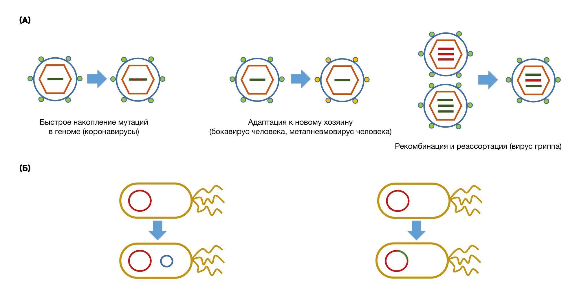 Великий комбинатор. Как эволюционируют вирусы и каким станет SARS-CoV-2