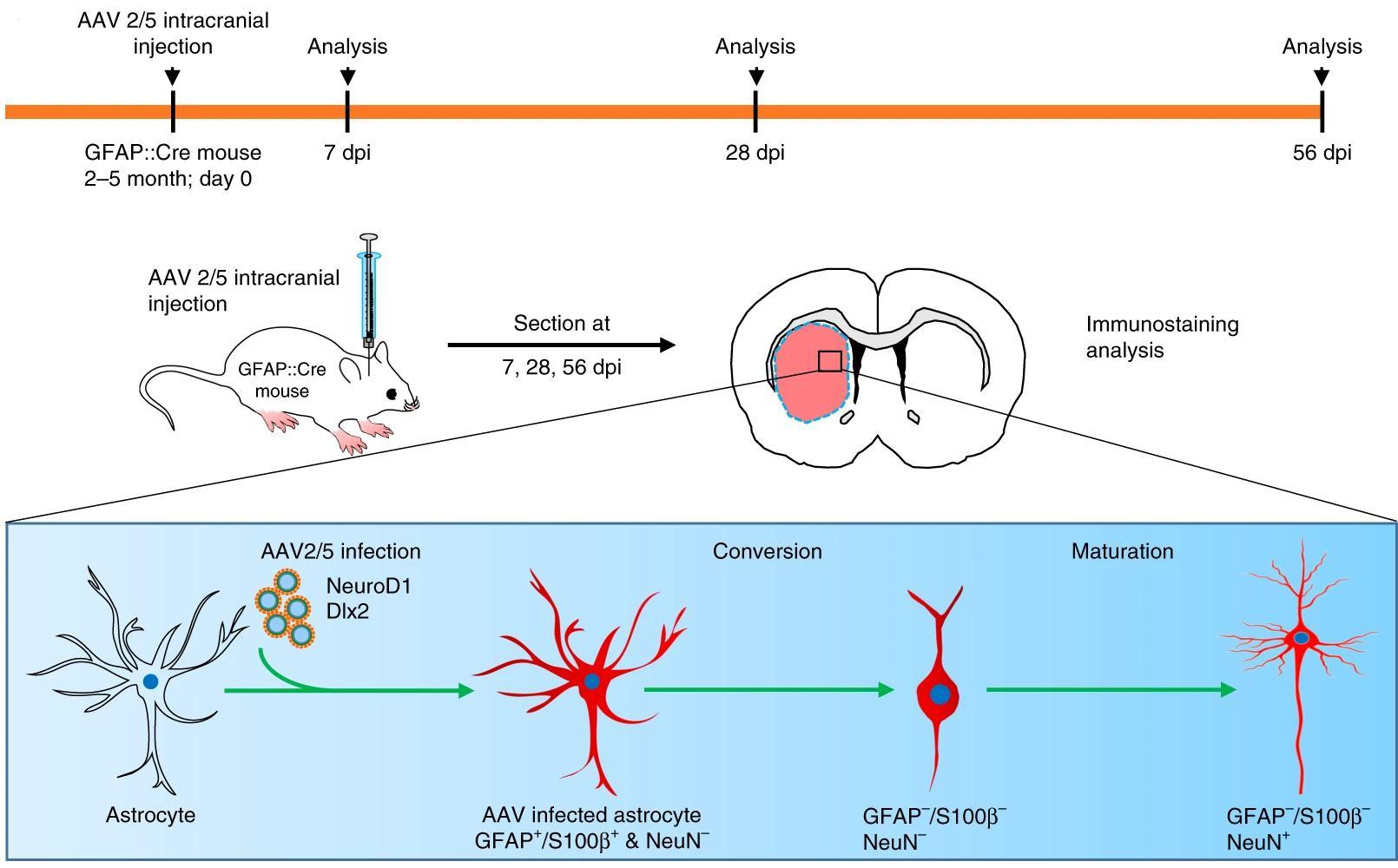 Нейроны из астроцитов: новый метод борьбы с болезнью Гентингтона